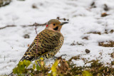 Northern Flicker - Male, Yellow Shafted