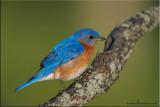 _eastern_bluebird