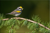 goldenwinged_warbler_m