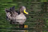 IMG_0643 African Yellow-billed Duck.jpg