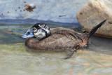 IMG_0634 White-headed Duck.jpg