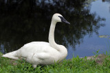 IMG_0807 Trumpeter Swan.jpg