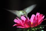 IMG_2656 Ruby-throated  Hummingbird female.jpg