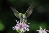 IMG_3518 Ruby-throated   Hummingbird female.jpg