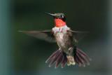 IMG_4298 Ruby-throated Hummingbird.jpg
