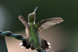 IMG_3357 Ruby-throated Hummingbird female.jpg