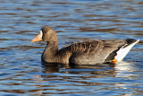 IMG_6434 Greater White-fronted Goose.jpg