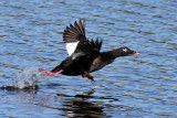 IMG_1925a White-winged Scoter.jpg