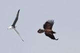 IMG_8671a Gull  Eagle.jpg
