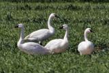 IMG_0367 Tundra Swans.jpg