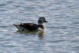 IMG_7791 Long-tailed Duck female.jpg