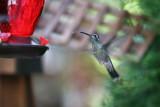 IMG_9174 Magnificent Hummingbird.jpg