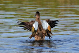 IMG_5151a Blue-winged Teal.jpg