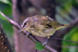 IMG_1834a Red-eyed Vireo juvenile.jpg