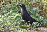 IMG_6420a Rusty Blackbird.jpg