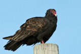 IMG_8306a Turkey Vulture.jpg