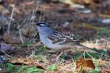 IMG_5469 White-crowned Sparrow.jpg