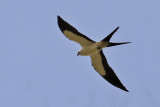 IMG_0018a Swallow-tailed Kite.jpg