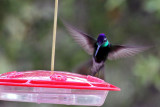 IMG_3987a Magnificent Hummingbird male.jpg
