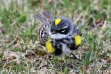 IMG_3261a Yellow-rumped Warbler.jpg
