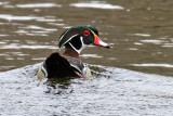 IMG_3568a Wood Duck .jpg