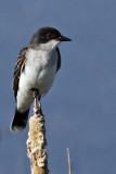 IMG_5752a Eastern Kingbird.jpg