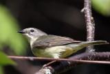 IMG_5195a Black-throated Blue Warbler female.jpg