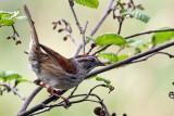 IMG_5088a Swamp Sparrow.jpg