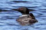 IMG_7793a Common Loon.jpg