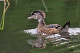 IMG_4878a Wood Duck.jpg