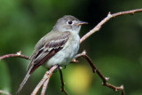 IMG_1796a Willow Flycatcher.jpg