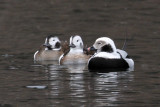 IMG_6742a Long-tailed Duck.jpg