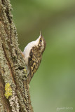 Taigaboomkruiper/Eurasian treecreeper