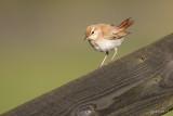 Rosse waaierstaart/Rufous-tailed scrub robin