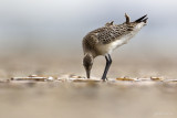 Rosse grutto/Bar-tailed godwit