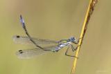 Tangpantserjuffer/Lestes dryas ♂