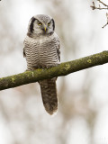 Sperweruil/Northern hawk-owl