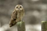 Velduil/Short-eared owl