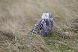 Sneeuwuil/Snowy owl