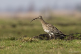 Wulp/Curlew