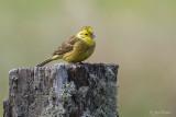 Geelgors/Yellow hammer