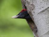 Zwarte specht/Black woodpecker