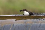 Zwartbuikwaterspreeuw/Black-bellied Dipper