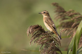 Paapje/Whinchat
