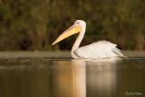 Roze pelikaan/Great white pelican