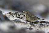 Oeverpieper/Rock pipit