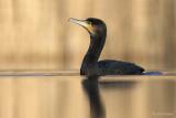 Aalscholver/ Cormorant