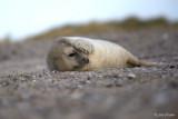 Grijze zeehond/Seal