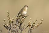 Sprinkhaanzanger/Grasshopper warbler