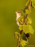 Cetti's zanger/Cettis warbler
